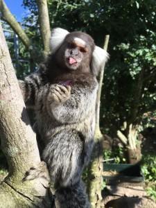 Silkeabe i Monkey World