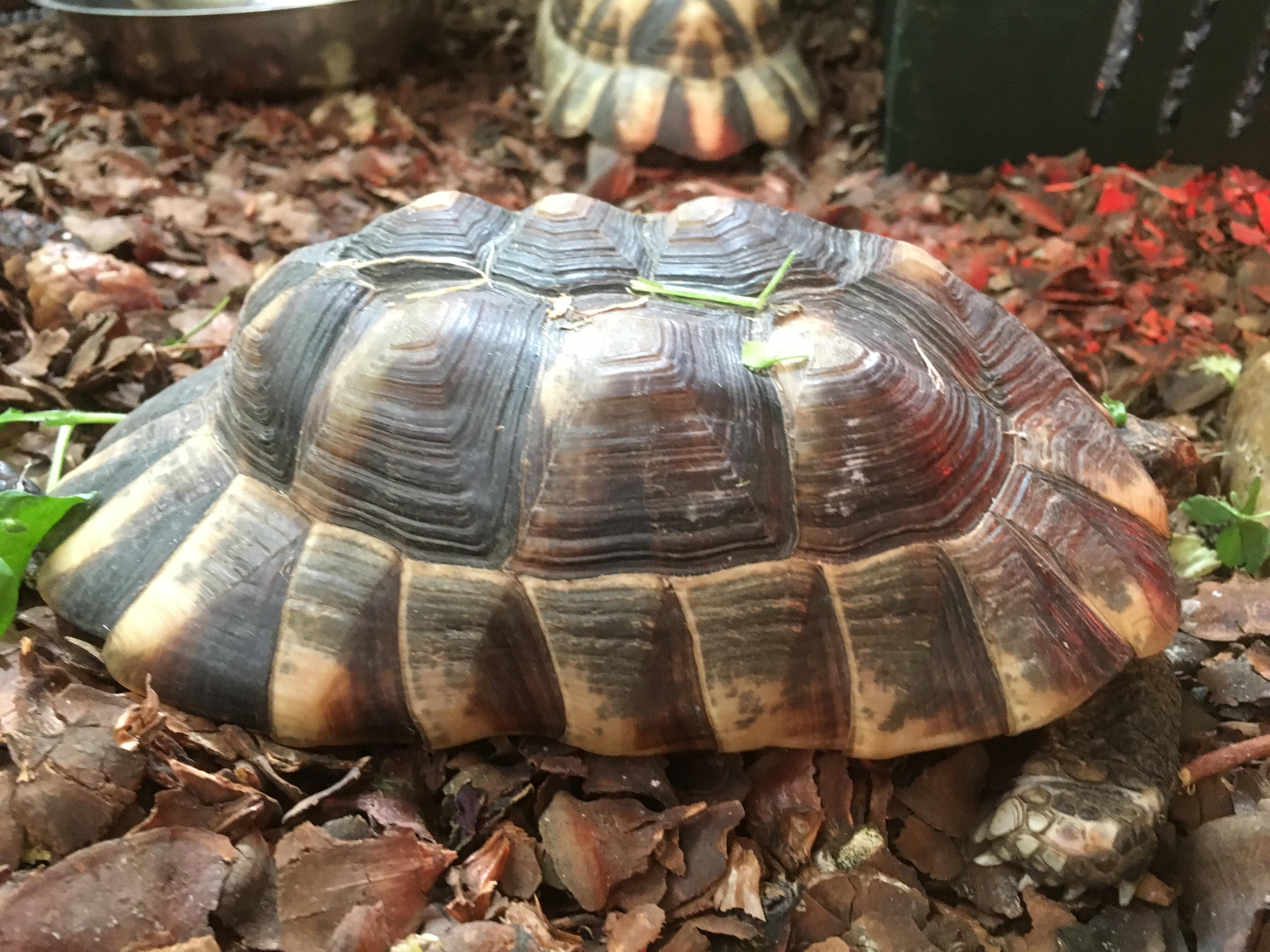 Bredrandet Landskildpadde