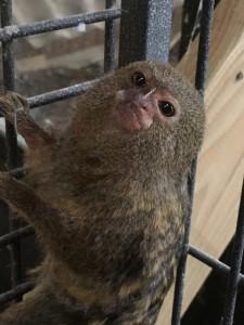 Dværg abe du kan blive ambassadør for