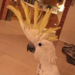 Kakadue