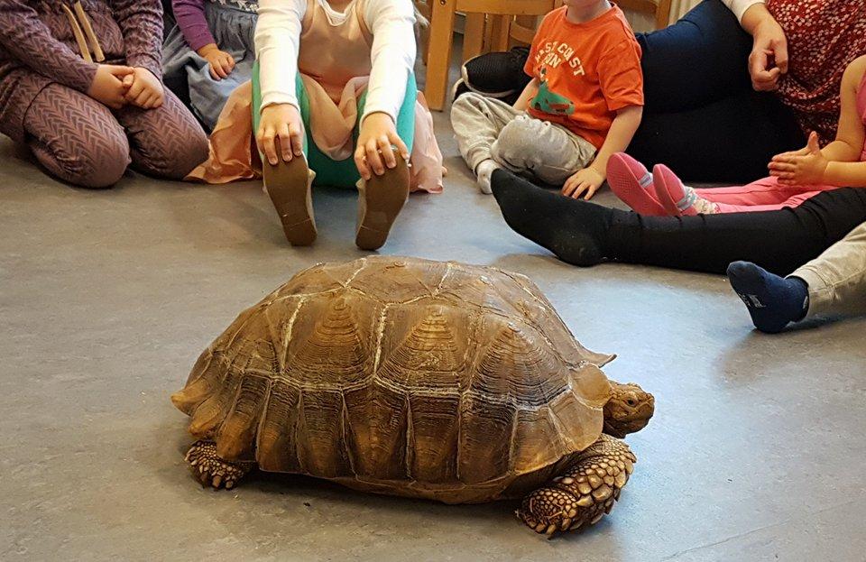 Afrikansk sporreskildpadde i Børnehuset Rørskov