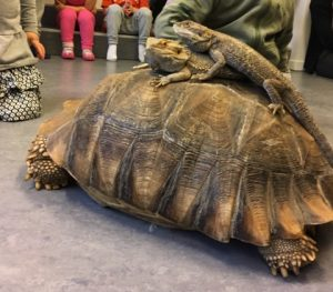 Land skildpadde med skægagamer