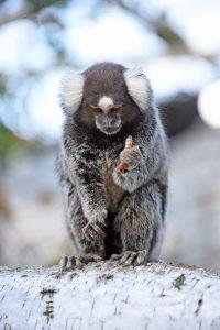 Hvidøret silkeabe i Monkey World