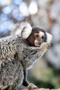 Hvidøret silkeabe i Monkey World Hillerød