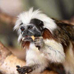 Paryk Tamarin i www.monkeyworld.dk