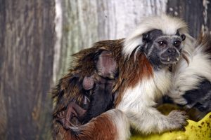 Paryk Tamarin unge i www.monkeyworld.dk