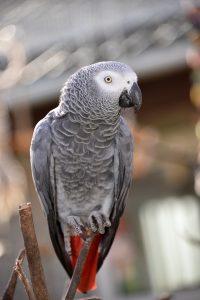 Grå jaco papegøje i Monkey World