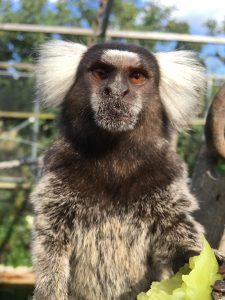 Silkeabe, hvidøret silkeabe i Monkey Woerld Hillerød