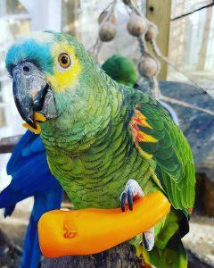 Yvonne den blåpandede amazone papegøje