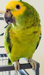 Talende papegøje