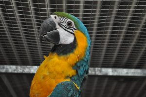 Ara papegøje 2016