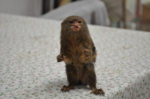 dværg silke abe i Monkey World www.monkeyworld.dk