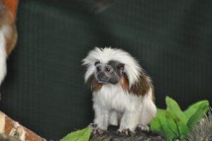 Primat- Paryk tamarin