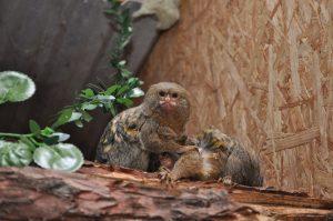 Silkeaber i Monkey World Hillerød