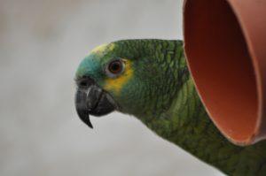 Amazone papegøje i Monkey World