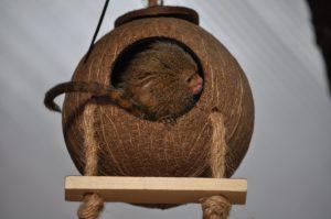 dværg silkeabe i www.monkeyworld.dk