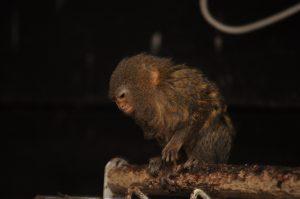 dværg silkeabe i Monkey World www.monkeyworld.dk