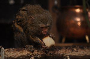 Dværgsilkeabe i Monkey World www.monkeyworld.dk