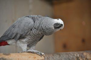 Rødhaled grå jaco papegøje