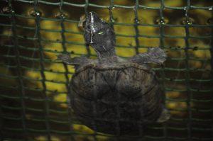 Moskus skildpadde i regnskoven