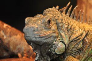 Mr. Dino saurus, leguan i regnskoven