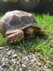 Afrikansk Sporeskildpadde