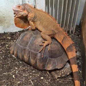Leguan & Afrikansk Sporeskildpadde med leguan