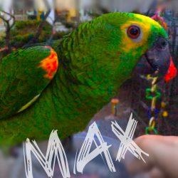 Amazone papegøje
