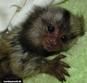 Silke dværg abe