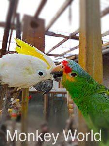 Kakadue og amazone i Monkey World