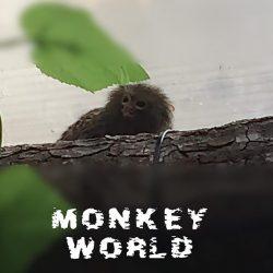 Dværg abe