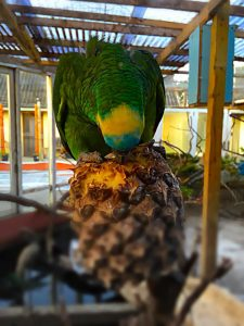 Amazone papegøje: Keld
