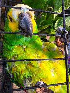 Rasmus, amazone papegøje