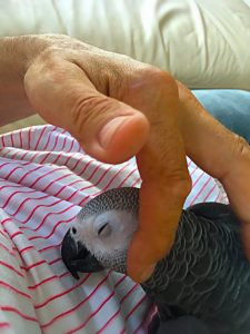 Grå Jaco papegøje