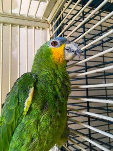 Venezuela amazone papegøje