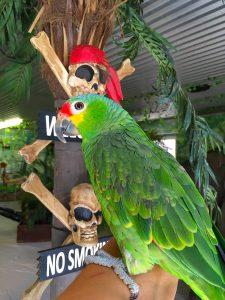 Papegøje pasning, amazone