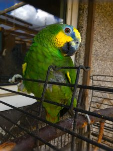 Vennezuela papegøje