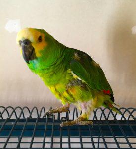Blåpandet amazone papegøje