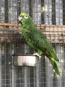 gulpandet amazone papegøje