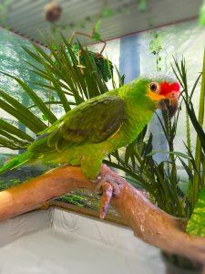 Amazone Papegøje pasning