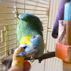 Papegøje frø