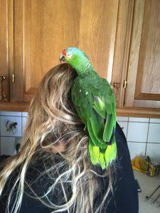 Gøje, gulkindet Amazone papegøje
