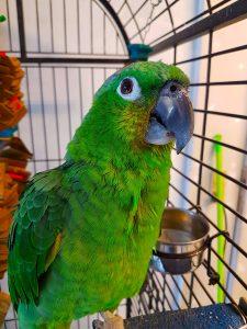 Grønnakket Costa Rica Papegøje