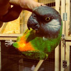 Senegal papegøje