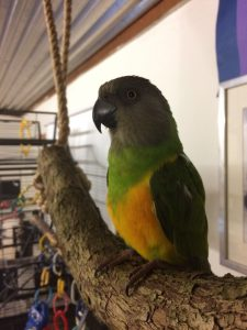 Pasning af papegøjer