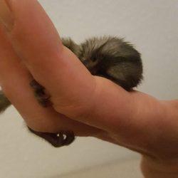 Håndopmadning af aber