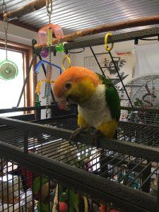 Balu caique klovne papegøje