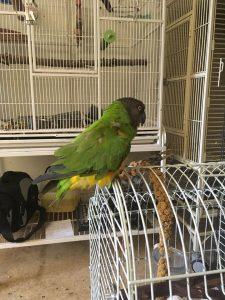 Senegal papegøje, Varg