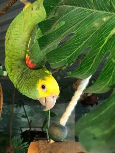 Cody Amazone papegøje