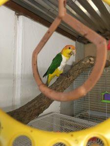 caique klovne papegøje